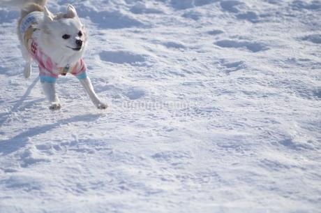 犬 チワワ 雪の写真素材 [FYI03420263]