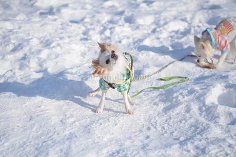 犬 チワワ 雪の写真素材 [FYI03420264]