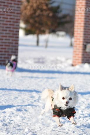 犬 チワワ 雪の写真素材 [FYI03420270]