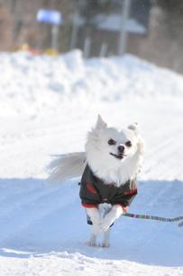走る犬 チワワ 雪の写真素材 [FYI03420275]