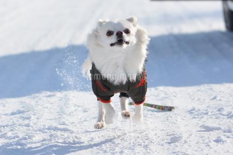 雪の上を走る犬の写真素材 [FYI03420276]