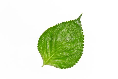 エゴマの葉の写真素材 [FYI03420317]