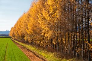 カラマツの防風林の写真素材 [FYI03420418]