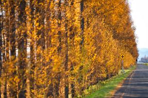カラマツの防風林の写真素材 [FYI03420421]