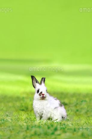 草原の中で遠くを見つめる1匹の子ウサギの写真素材 [FYI03420537]