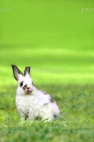 草原の中で遠くを見つめる1匹の子ウサギの写真素材 [FYI03420538]