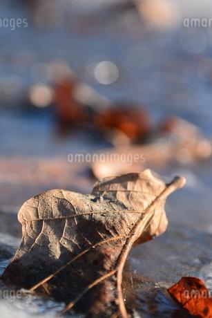 枯れ葉の写真素材 [FYI03420567]