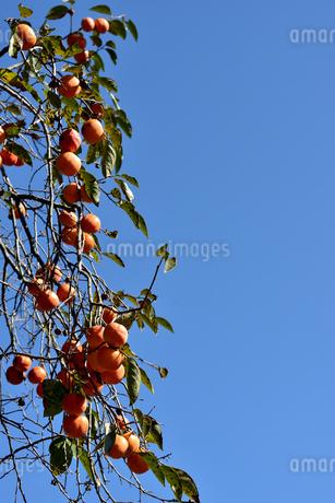 柿の写真素材 [FYI03420588]