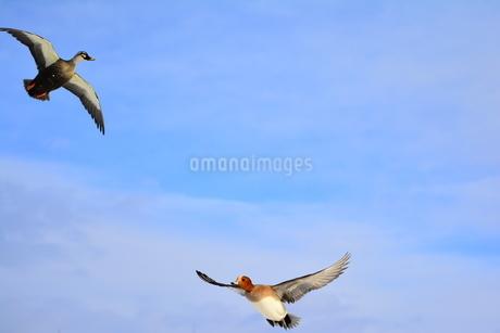 飛ぶカモの写真素材 [FYI03420616]