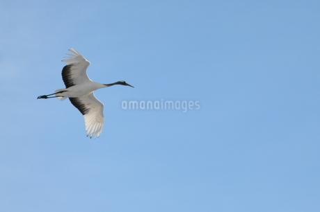 飛ぶ鶴の写真素材 [FYI03420617]