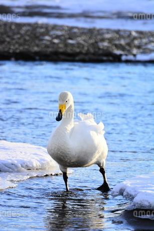 白鳥の写真素材 [FYI03420622]