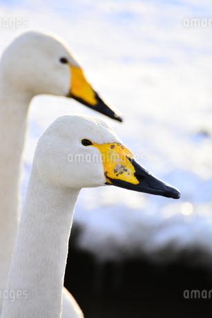 白鳥の写真素材 [FYI03420624]