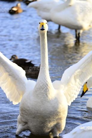 白鳥の写真素材 [FYI03420625]