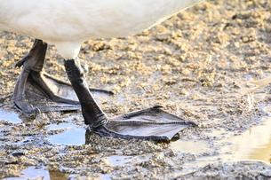 白鳥の足の写真素材 [FYI03420626]