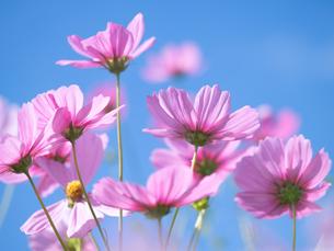 コスモスの花の写真素材 [FYI03420655]