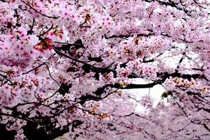 満開の桜の写真素材 [FYI03420881]