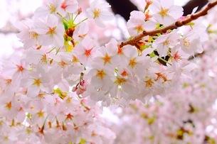 桜の写真素材 [FYI03420883]