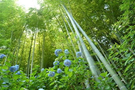 紫陽花と竹林の写真素材 [FYI03420987]