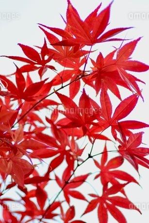 イロハモミジの紅葉の写真素材 [FYI03421033]