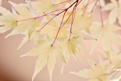 黄色のモミジの写真素材 [FYI03421034]