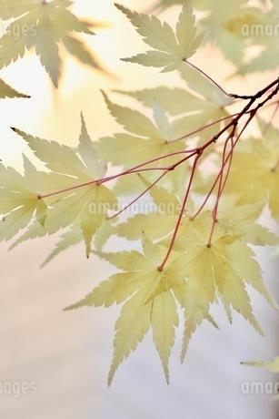 黄色のモミジの写真素材 [FYI03421036]