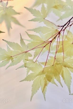 黄色のモミジの写真素材 [FYI03421038]