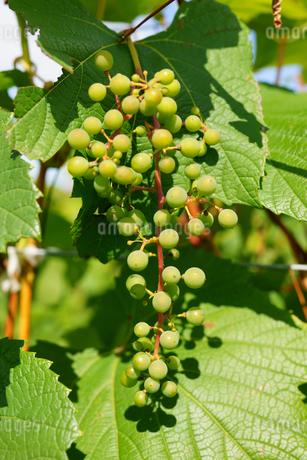 ワイン用の葡萄の写真素材 [FYI03421136]