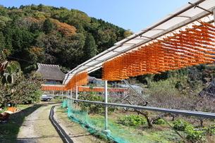 かつらぎ町 串柿の里の写真素材 [FYI03421444]