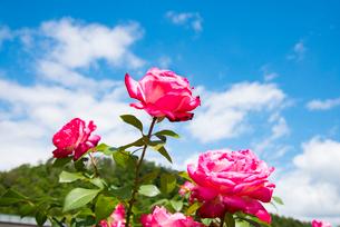 ピンクのバラの花の写真素材 [FYI03421462]