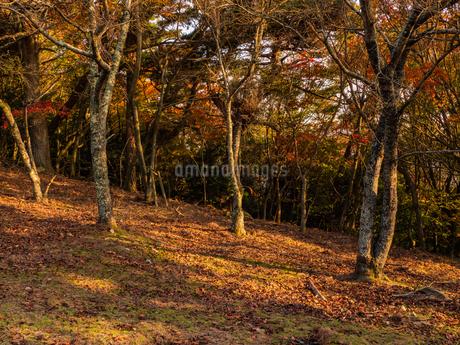 夕方の森林に柔らかな光が差し込む様子の写真素材 [FYI03421670]