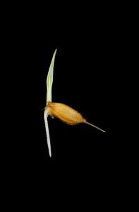 イネの実生の写真素材 [FYI03422090]