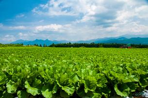 川上村高原野菜畑の写真素材 [FYI03422278]