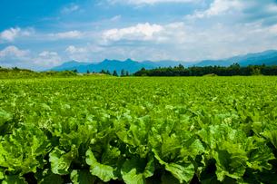 川上村高原野菜畑の写真素材 [FYI03422279]
