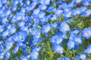 満開のネモフィラの花の写真素材 [FYI03422281]