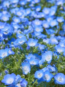 満開のネモフィラの花の写真素材 [FYI03422282]