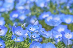 ルリカラクサ の花の写真素材 [FYI03422286]