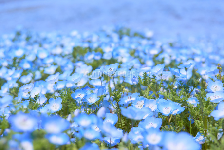 ネモフィラの花畑の写真素材 [FYI03422288]