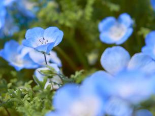 ネモフィラの花 アップの写真素材 [FYI03422289]