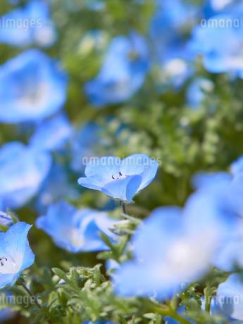 ネモフィラの花の写真素材 [FYI03422290]