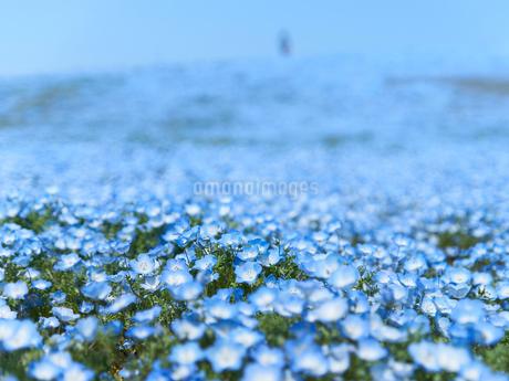 遠くまで続くネモフィラの花畑の写真素材 [FYI03422295]