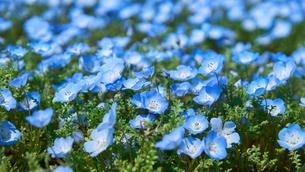 ネモフィラの花の写真素材 [FYI03422296]