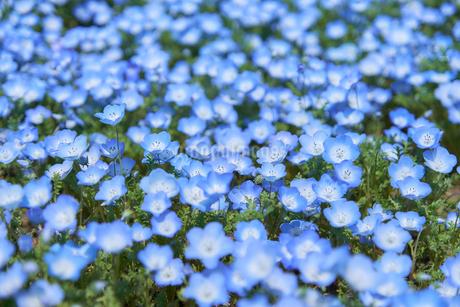 ルリカラクサ の花 満開の写真素材 [FYI03422298]