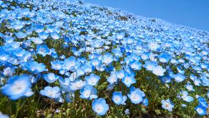 ネモフィラの花畑の写真素材 [FYI03422299]