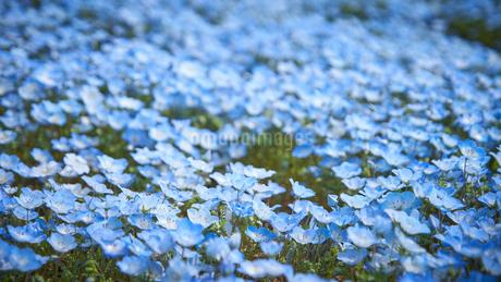 一面に咲くネモフィラの花の写真素材 [FYI03422300]