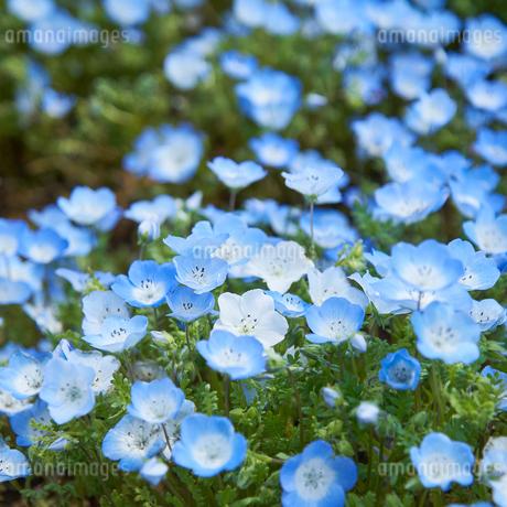 ネモフィラの花 花壇の写真素材 [FYI03422301]