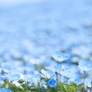 ネモフィラの花の写真素材 [FYI03422302]