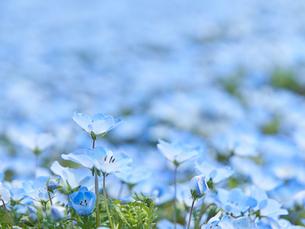 ネモフィラの花 アップの写真素材 [FYI03422303]