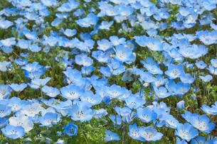 ネモフィラの花 満開の写真素材 [FYI03422304]
