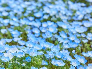 ネモフィラの花の写真素材 [FYI03422305]