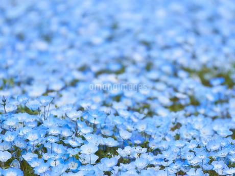 ネモフィラの花畑 一面 満開の写真素材 [FYI03422307]